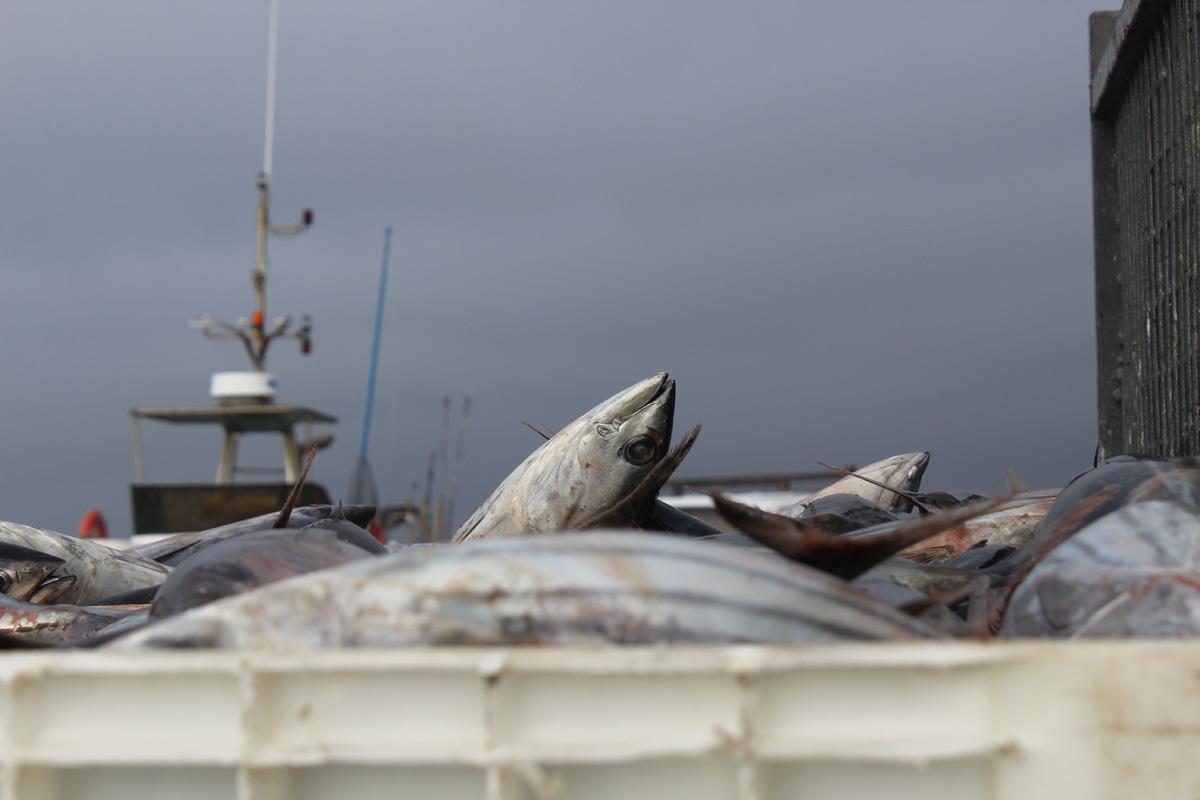 Descarga do Atum Bonito